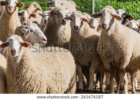 a flock of sheep to pasture in a rural location - stock photo