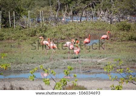 A flock of wild flamingos in Bonaire. - stock photo