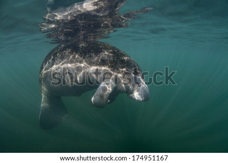 A Florida manatee (Trichechus manatus latirostris) floats near the surface of a freshwater spring in Florida. This animal is endangered and is of great conservation concern to the government. - stock photo