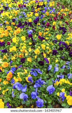 A flower bed filled with various colored pansy flowers. - stock photo