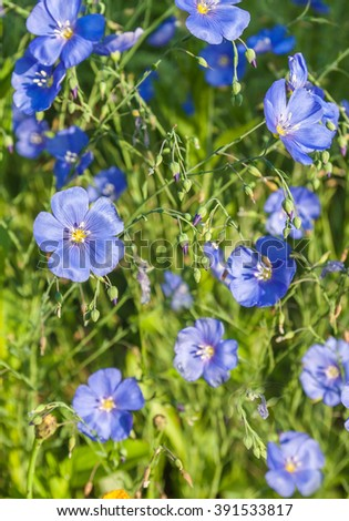 A flower bed with blue decorative linen (Linum perenne) - stock photo