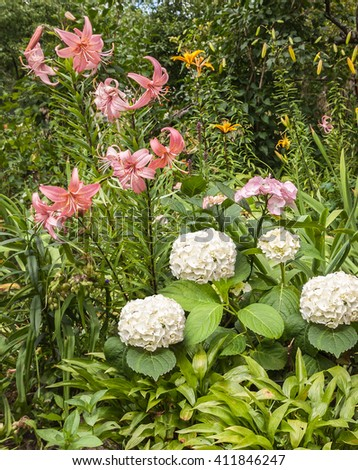 A flower bed with white and  hydrangea, pink and yellow lilies Asiatic hybrids with leaves hosts in the foreground - stock photo