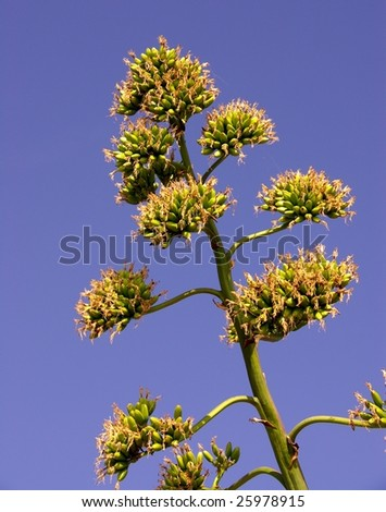 A flowering agave plant - stock photo