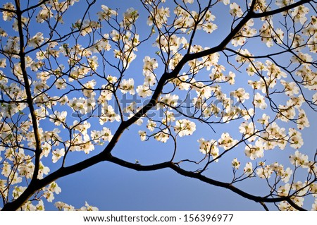 A flowering dogwood tree blooms on a spring day at The Morton Arboretum, Lisle, IL. - stock photo
