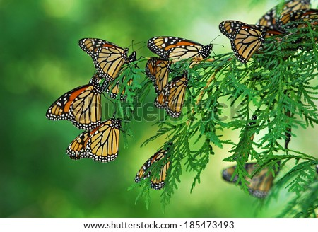A flutter of monarch butterflies  (Danaus plexippus) clustered on branch of green arbor vitae tree during fall migration - stock photo