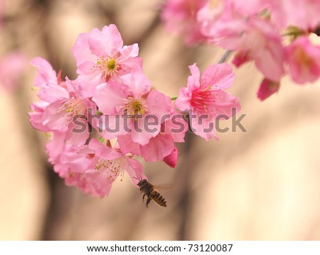 a flying bee and cherry blossom - stock photo