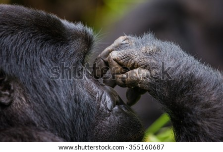 A foot of mountain gorillas. Close-up. Uganda. Bwindi Impenetrable Forest National Park.  - stock photo