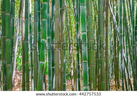 A forest of Bamboo trees and their bark in various colors of green and maturity  - stock photo