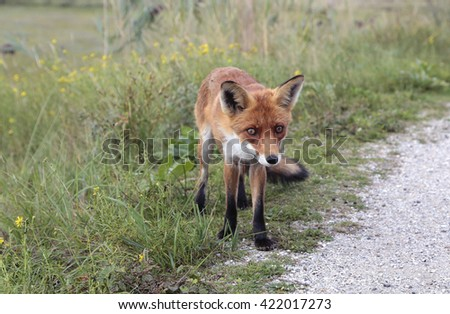 A fox in nature - stock photo