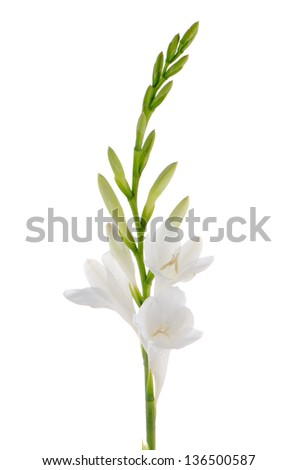 A fragment of white lilies ' bunch on a white background. zephyranthes candida - stock photo