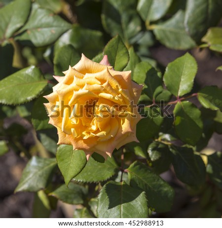 A fragrant romantic beautiful bright  yellow  fully blown rose blooming in  winter  adds fragrance and beauty to the drab  garden landscape. - stock photo