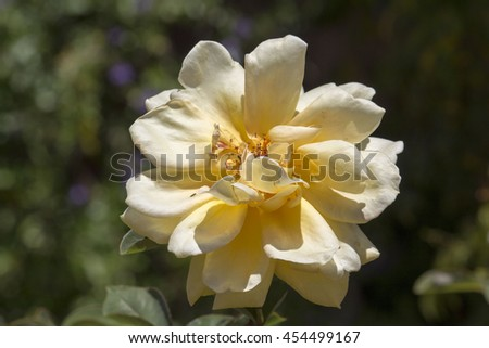 A fragrant romantic beautiful pale yellow  fully blown rose blooming in  spring   adds fragrance and beauty to the home  garden landscape. - stock photo