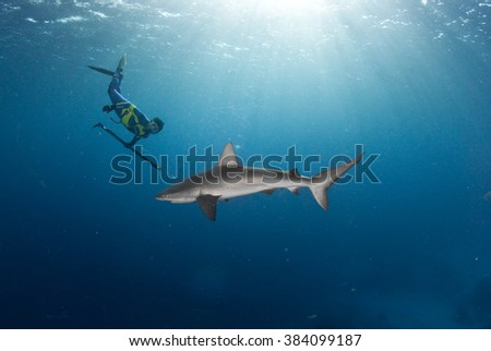 A free diver swimming with a galapagos shark in a blue ocean - stock photo