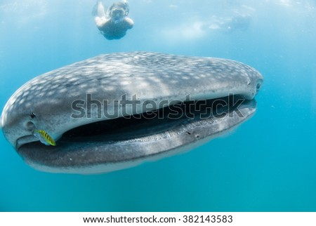 A free diver swims alongside a whale shark whilst underwater photographers take photographs - stock photo