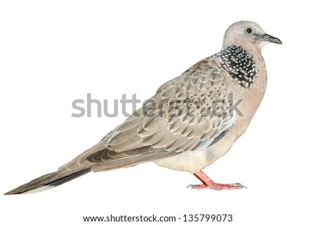 A free dove, Isolated on white - stock photo