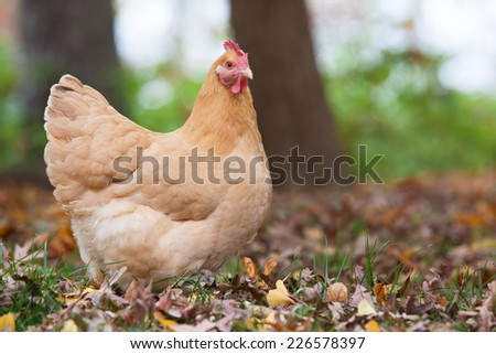 A free range hen forages in the fall woods - stock photo