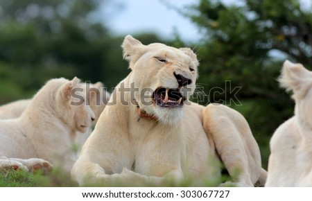 A free roaming wild white lion pride in south Africa. Female, male and cubs. - stock photo