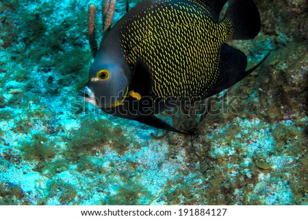 A french angel fish swimming on the reef - stock photo