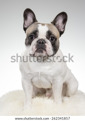 A French Bulldog portrait. Image taken in a studio. - stock photo