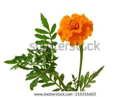A French Marigold on a white background. - stock photo