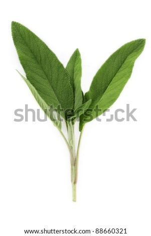 A fresh cutting of sage isolated on a white background. - stock photo