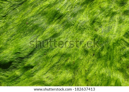 "A fresh green sea moss also known as Irish moss or carrageen moss (Irish carraig���­n, ""little rock"") fir your use in your design quest - stock photo"