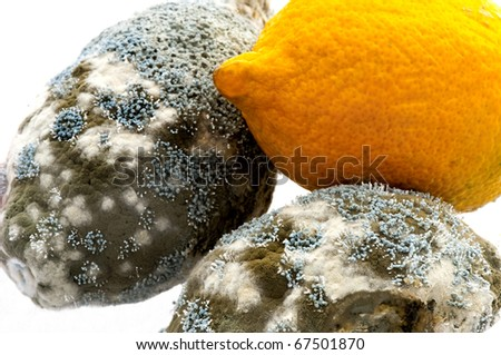A fresh lemon and two rotting ones with penicillium species of mould growing on them causing them to decay. A dramatic fungal landscape. On white. - stock photo