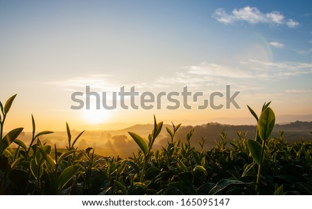 A fresh shoots tea in morning sunrise - stock photo