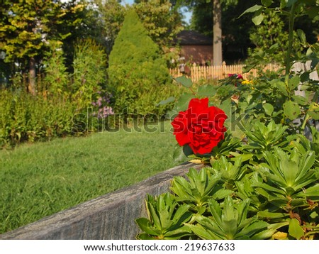 A fresh, vibrant, red rose blooms on a rose bush climbing along a fence in a lush, green backyard in summer. - stock photo
