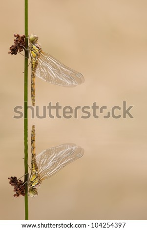 A freshly emerged Dragonfly. A Common Darter has climbed up a sedge stem to transform into it's adult form; and is reflected in the water. - stock photo