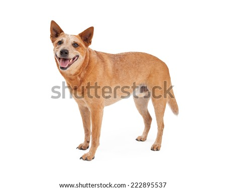 A friendly Australian Cattle Dog which is also known as a Red Heeler standing with happy expression and open mouth - stock photo