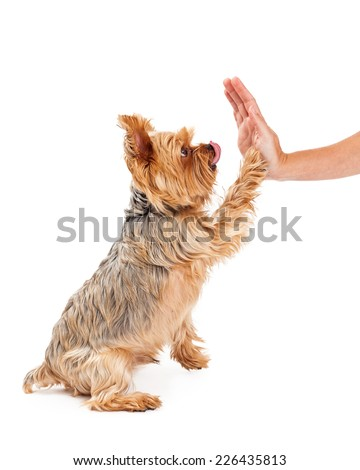 A friendly Yorkshire Terrier Puppy extending its paw for a shake with a human hand.  - stock photo