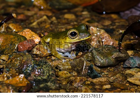 A frog sits in the middle of a stream at night in the jungle of Costa Rica. - stock photo