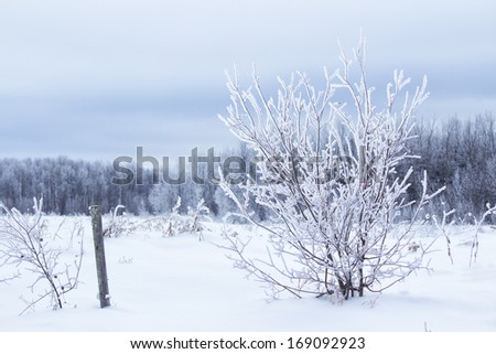 A frost covered shrub in front of a forest of trees in a winter landscape - stock photo