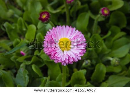 a full-blown flower daisy - stock photo
