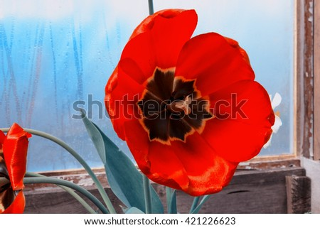 a full-blown tulip, close-up, vintage style, sepia - stock photo
