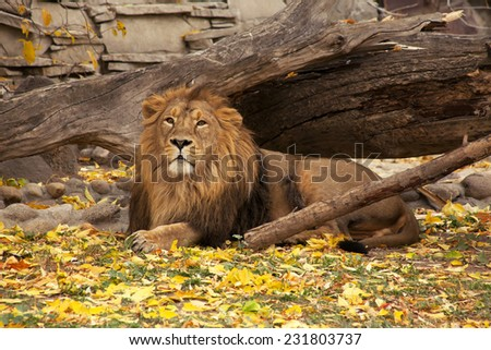 A full length portrait of a young Asian lion, lying on autumn background. King of beasts. Wild beauty of the biggest cat. The most dangerous and mighty predator of the world.  - stock photo
