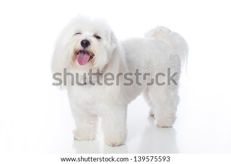 A full length shot of a white Coton de Tulear dog, looking as if he is laughing. This rare breed is related to the Bichon Tenerife & Tenerife Terrier. Studio shot is isolated on a white background. - stock photo