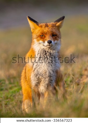 A full resolution portrait of a posing red fox (Vulpes vulpes) in natural environment. The beautiful wild animal of the wilderness. Looking in the camera. One of the most grace wood inhabitant - stock photo