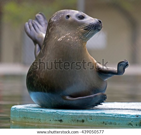 A funny attitude of one seal at zoo. - stock photo