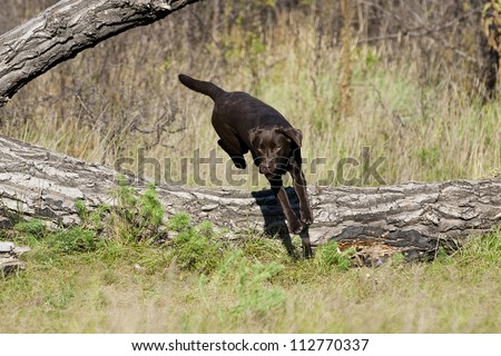 A funny brown labrador female is jumping over a tree - stock photo