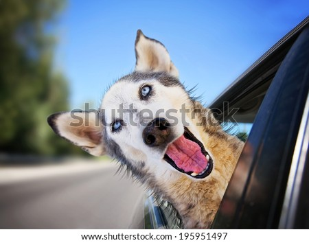 a funny husky wolf mix with her head out of a car window - stock photo