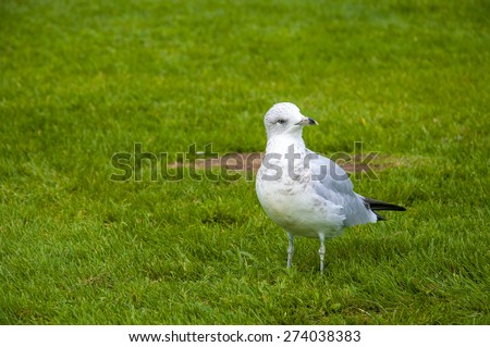 """A funny-looking seagull having a """"WHAT?"""" look in front of camera. Picture was shot at Liberty Island in the year 2009/Curious buddy/Looking for a snack - stock photo"""