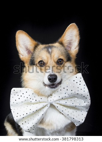 A funny welsh corgi portrait. The dog is wearing a big white bow. - stock photo