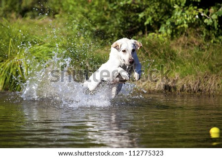A funny white labrador retriever female is playing in the water on a sunny day - stock photo