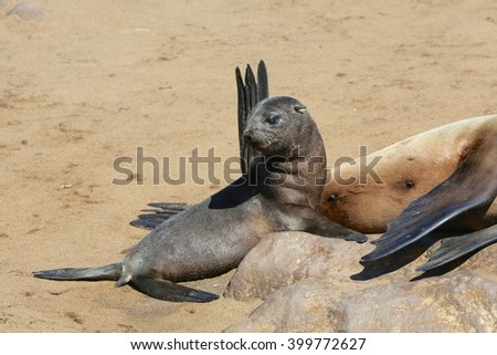 a fur seal at cape cross namibia - stock photo