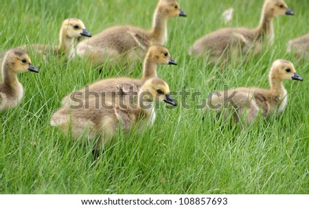 A gaggle of Canada Geese goslings crossing a meadow in Winnipeg Canada - stock photo