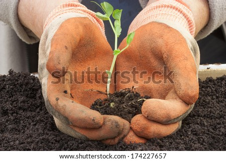 a gardener holding a pea shoot to transplant - stock photo