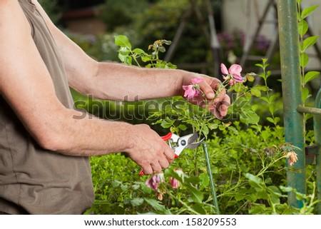 A Gardener is cutting a flower. - stock photo