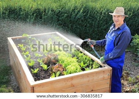 A Gardener pouring his Raised salad bed - stock photo